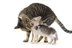Gato da mãe que lambe seu gatinho Imagens de Stock Royalty Free