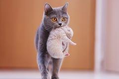 Gato da mãe que leva seu bebê Fotos de Stock