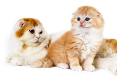 Gato da mamã e do bebê no fundo branco imagem de stock royalty free