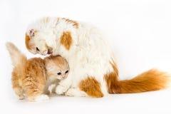 Gato da mamã que lambe seu gatinho no fundo branco Imagem de Stock Royalty Free