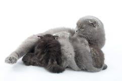 Gato da matriz que alimenta seus gatinhos. Tiro do estúdio. Isolado. Imagens de Stock