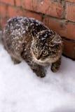 Gato da neve imagens de stock