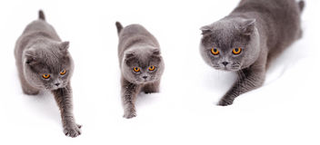Gato britânico do shorthair na neve Foto de Stock