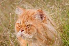Gato da Pérsia imagens de stock