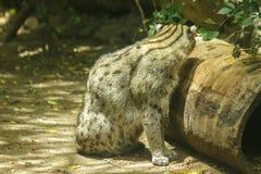 Gato da pesca que senta-se no assoalho foto de stock royalty free