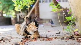 Gato da quimera que encontra-se para baixo olhando longe da câmera Fotografia de Stock