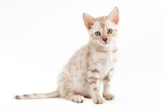 Gato da raça de Bengal do gatinho na luz - fundo cinzento. Fotos de Stock Royalty Free