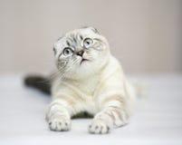 Gato da raça o gato escocês da dobra. Foto de Stock