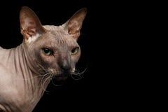Gato da raça Sphynx isolado no fundo preto Fotografia de Stock Royalty Free