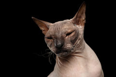 Gato da raça Sphynx isolado no fundo preto Foto de Stock Royalty Free