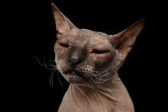 Gato da raça Sphynx isolado no fundo preto Imagem de Stock