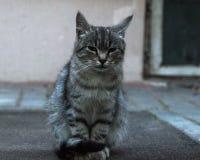 Gato da rua Fotografia de Stock Royalty Free
