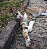 Gato da rua Fotos de Stock Royalty Free