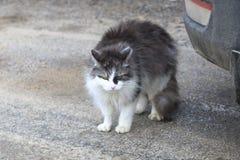 Gato da rua cor branca com cinza hungry nenhuma força qualquer a mover-se abrigo fotografia de stock royalty free