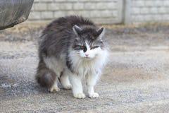 Gato da rua cor branca com cinza hungry nenhuma força qualquer a mover-se abrigo imagem de stock