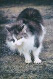 Gato da rua cor branca com cinza hungry nenhuma força qualquer a mover-se abrigo fotografia de stock