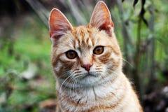 Gato da vaquinha Fotografia de Stock Royalty Free