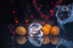 Gato da vaquinha que dorme no vidro Fotografia de Stock Royalty Free