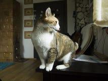 Gato das bruxas Three-color Foto de Stock