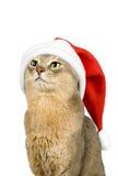 Gato de Abssinian en el sombrero de Santa aislado en blanco Imágenes de archivo libres de regalías