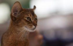 Gato de Abysinian imagen de archivo