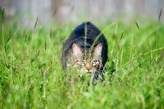 Gato de acecho Fotos de archivo libres de regalías
