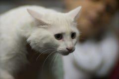 Gato de Afrodyta Imagens de Stock