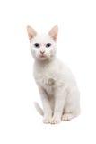 Gato de Ancara do gato doméstico - gato turco Foto de Stock Royalty Free