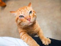 Gato de gato atigrado anaranjado lindo, color de la naranja del gato Imagen de archivo