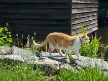 Gato de gato atigrado anaranjado y blanco que disfruta del día soleado fotos de archivo libres de regalías
