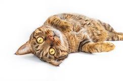 Gato de gato atigrado con los ojos amarillos Imagen de archivo