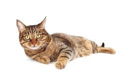 Gato de gato atigrado con los ojos amarillos Imágenes de archivo libres de regalías