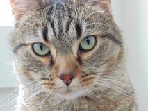 Gato de gato atigrado con los ojos azules imagen de archivo