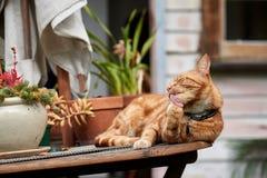 Gato de gato atigrado del jengibre rojo que pone en una tabla del jardín rodeada por las plantas de tiesto que limpian su pata imagenes de archivo