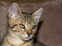 Gato de gato atigrado del moreno del retrato del gatito fotos de archivo libres de regalías