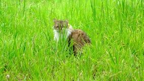 Gato de gato atigrado en hierba verde alta almacen de metraje de vídeo