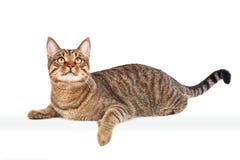 Gato de gato atigrado grande en estudio Fotografía de archivo