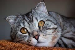 Gato de gato atigrado gris del doblez escocés hermoso con las rayas blancas foto de archivo