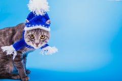 Gato de gato atigrado gris que lleva el sombrero azul del Año Nuevo con la bufanda en fondo azul Imágenes de archivo libres de regalías