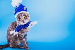 Gato de gato atigrado gris que lleva el sombrero azul del Año Nuevo con la bufanda en fondo azul Fotos de archivo libres de regalías