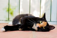 Gato de gato atigrado hermoso de la concha del calicó que miente en un balcón imagenes de archivo
