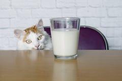 Gato de gato atigrado lindo que parece curioso a una taza de leche Foto de archivo