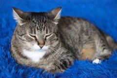 Gato de gato atigrado marr?n hermoso en fondo azul Ojos verdes Fotograf?a asombrosa fotos de archivo