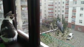 Gato de gato atigrado rayado gris que mira en la paloma en el balcón almacen de metraje de vídeo