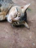 Gato de gato atigrado siamés, relajándose y descansando con perezoso en la tierra, imagen de archivo