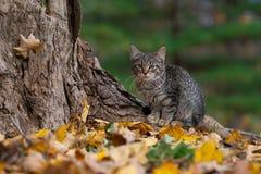 Gato de gato atigrado y colores de la caída imagen de archivo