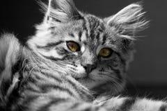 Gato de B&w fotografia de stock