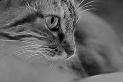 Gato de B&w Foto de archivo