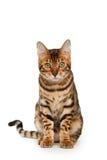 Gato de Bengal Imagens de Stock