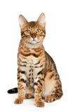 Gato de Bengal imagem de stock royalty free